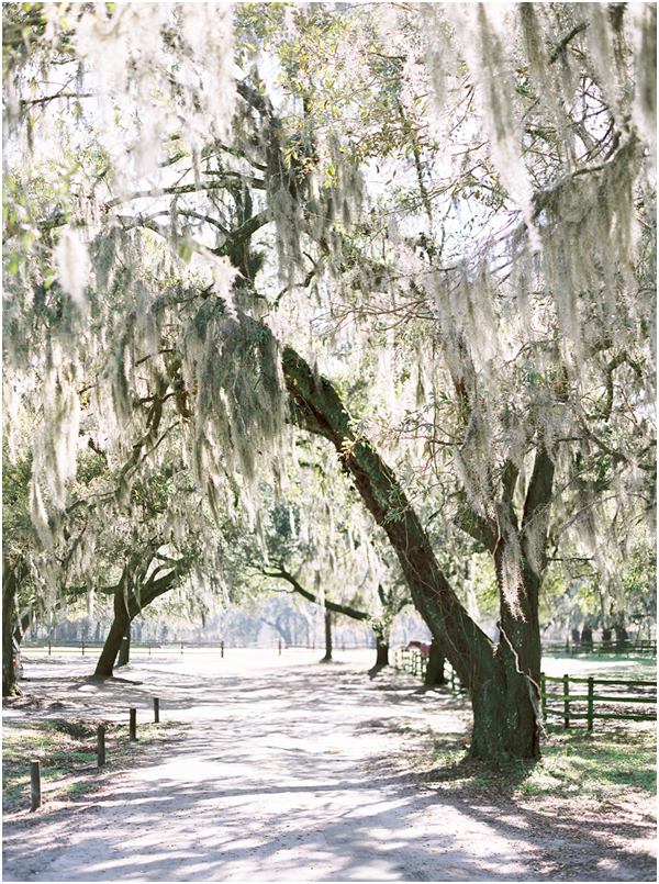 Middleton Plantation oak trees contax 645  Stefanie Kapra Film Photo Wedding Photographer Charleston SC