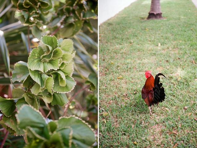 Wild chicken in Key West Florida by Stefanie Kapra Photo